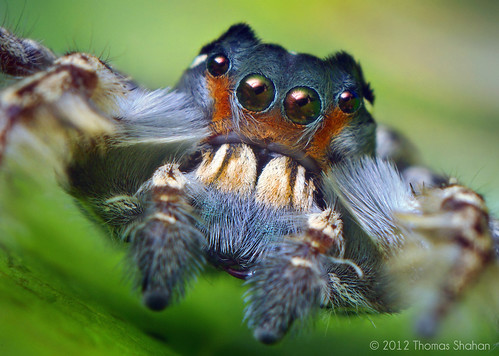 Portrait of an Adult Male Phidippus putnami Jumping Spider | by Thomas Shahan