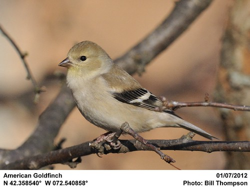 American Goldfinch | by Bill.Thompson