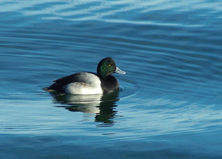 Greater Scaup | by cminer52