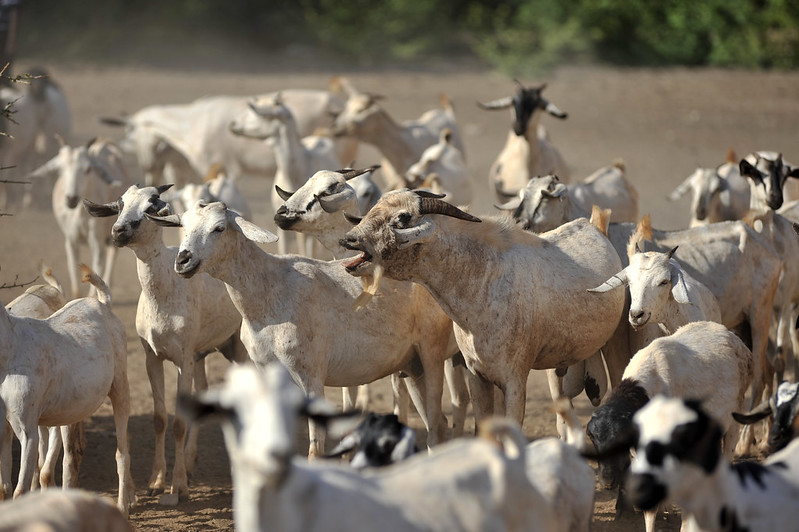 Goats at a water point near Wajir, northern Kenya