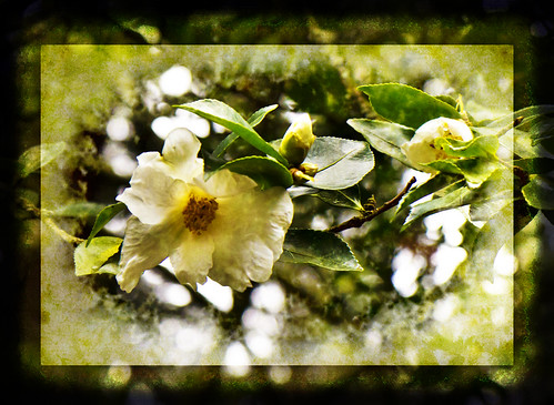 Camellia Blossoms Long for Spring | by KPortin