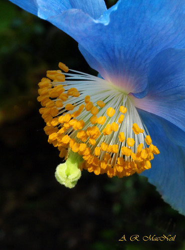Himalayan Poppy 4 - Vancouver, British Columbia | by Barra1man