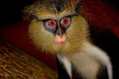 Ghanaian Monkey by Erica VanHoosen