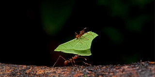Leaf-cutter ants | by ggallice