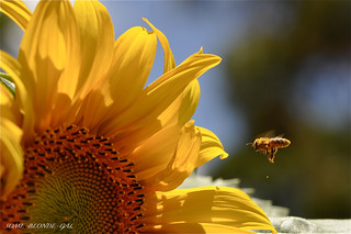 Sunflower Bee | by some_blonde_gal