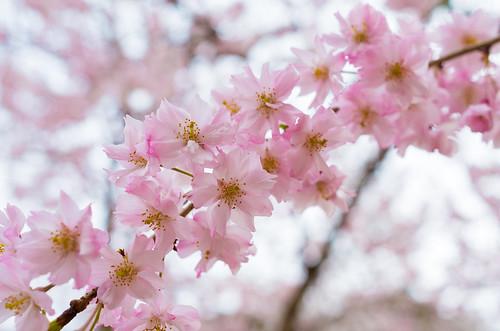 枝垂桜 3