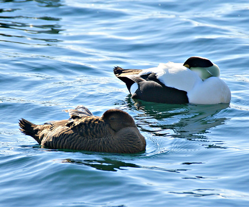 SLEEPING EIDERS | by PALEIDIA-Very Busy