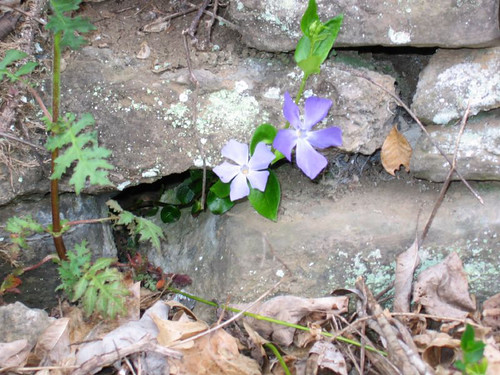 Periwinkle on old stone fence Woodford County Kentucky
