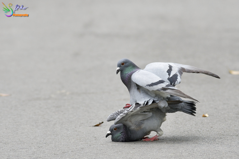 Pigeon_6665