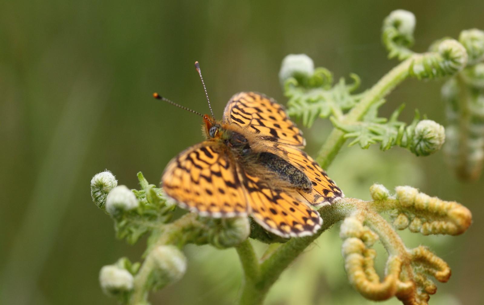 butterfliesandrooks0018
