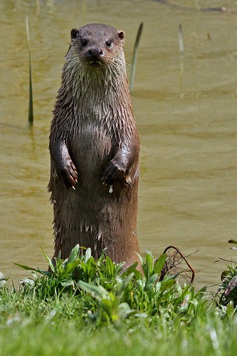 Otter standing BWT 15.4.2012 (2) | by Margaret the Novice
