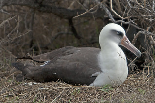 Laysan Albatross (Phoebastria immutabilis) sitting on newly hatched chick 3 020712 | by evimeyer
