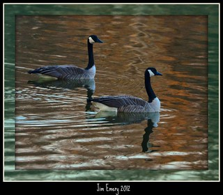 Two Uncooked Geese | by Jim Emery