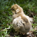 Silkie chick brown