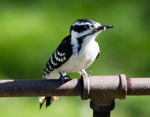 Female Hairy Woodpecker with grub