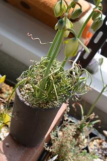 DSC_3182 Albuca spiralis cv. 'Frizzle sizzle'  アルブカ・スピラリス 'フリズルシズル'