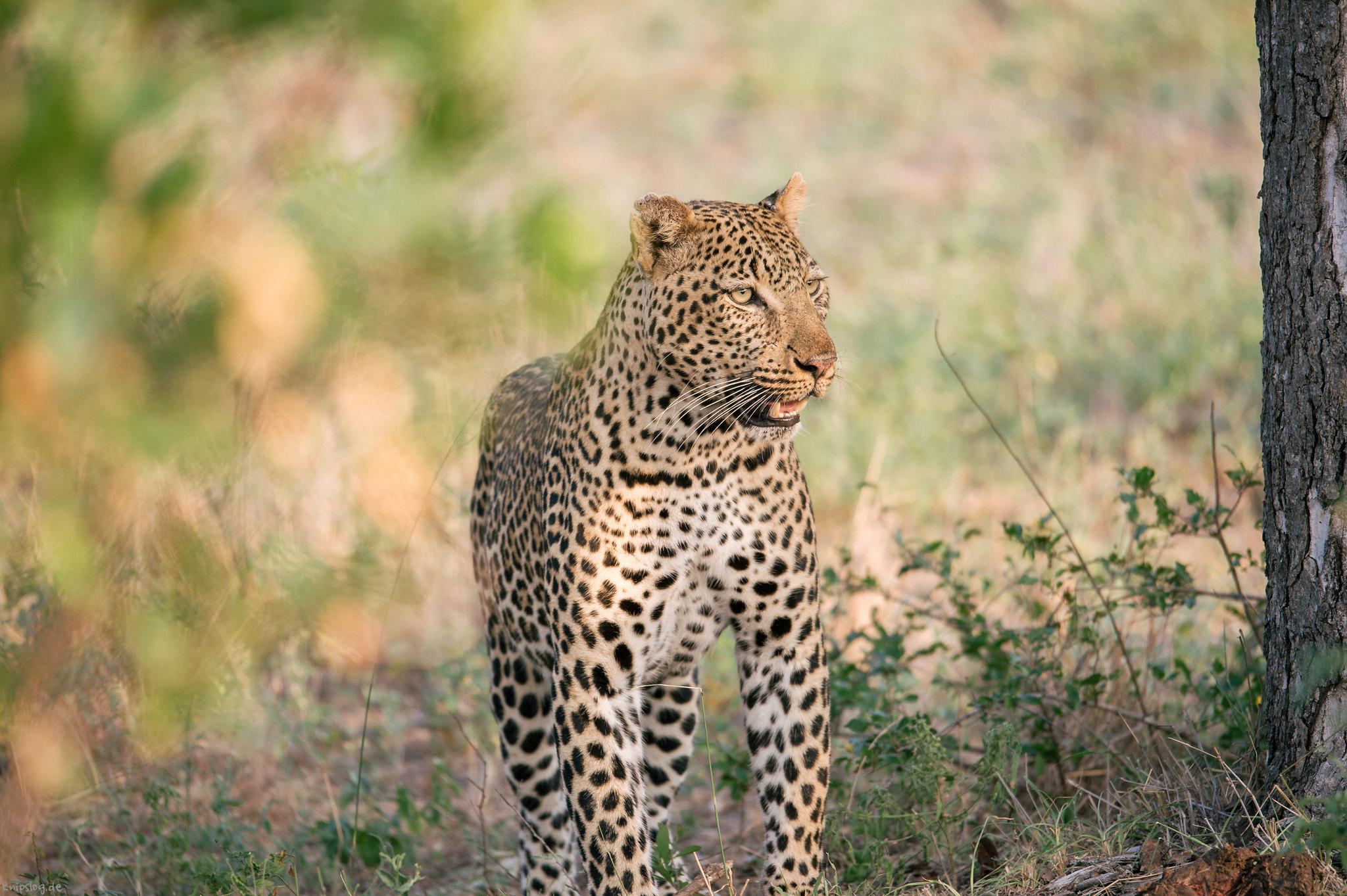 Nice male leopard