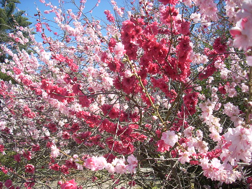 Flowering Peach tree in blossom, two colors, spring in California