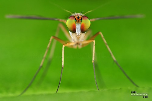 long legged fly | by akalbudi