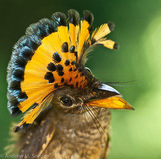 Amazonian Royal Flycatcher | by Andrew Snyder Photography