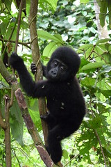 Baby Gorilla by scottstringer