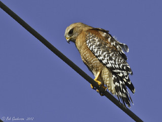 Red-shouldered Hawk | by Bob Gunderson