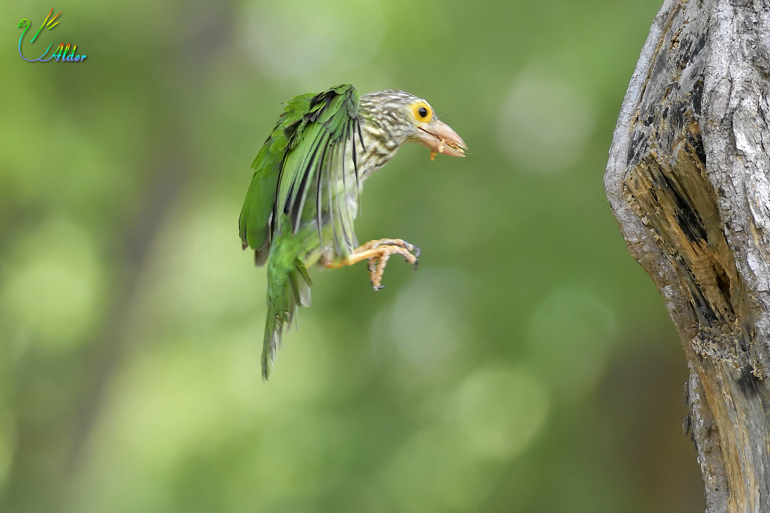 Lineated_Barbet_6857