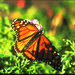 Monarch Butterfly, Pacific Grove