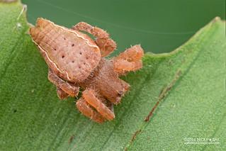 Tent web spider (Cyrtophora exanthematica) - DSC_1625