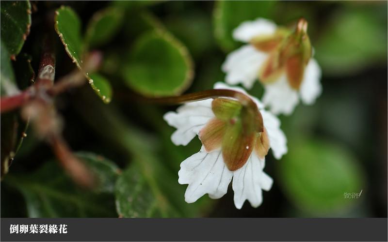 倒卵葉裂緣花
