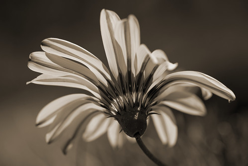 Daisy Detail [Explored] | by dleany