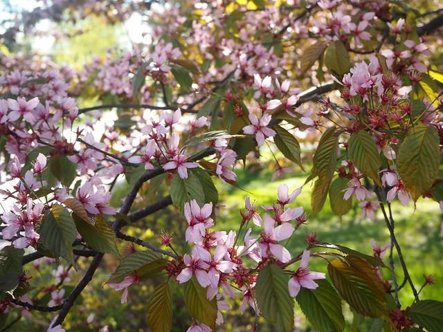 cherryblossomP5124858,japanesestylegardenP5124841,cherryblossomP5124847, cherry blossom, kirsikkapuu, kirsikan kukka, helsinki, roihuvuori, finland, suomi, hanami, helsinki tips, cherry park, japanese style garden, cherry tree park, cherry park, cherry trees, kirsikankukka puu, blooming, kukkia, vaaleanpunainen, pinkki, kukka, flower, cherry blossom helsinki, blue sky, sininen taivas, may, toukokuu, kesä, summer, kevät, spring, suomi, cherry woods, kirisikkapuisto, roihuvuori, japanilaistyylinen puutarha,