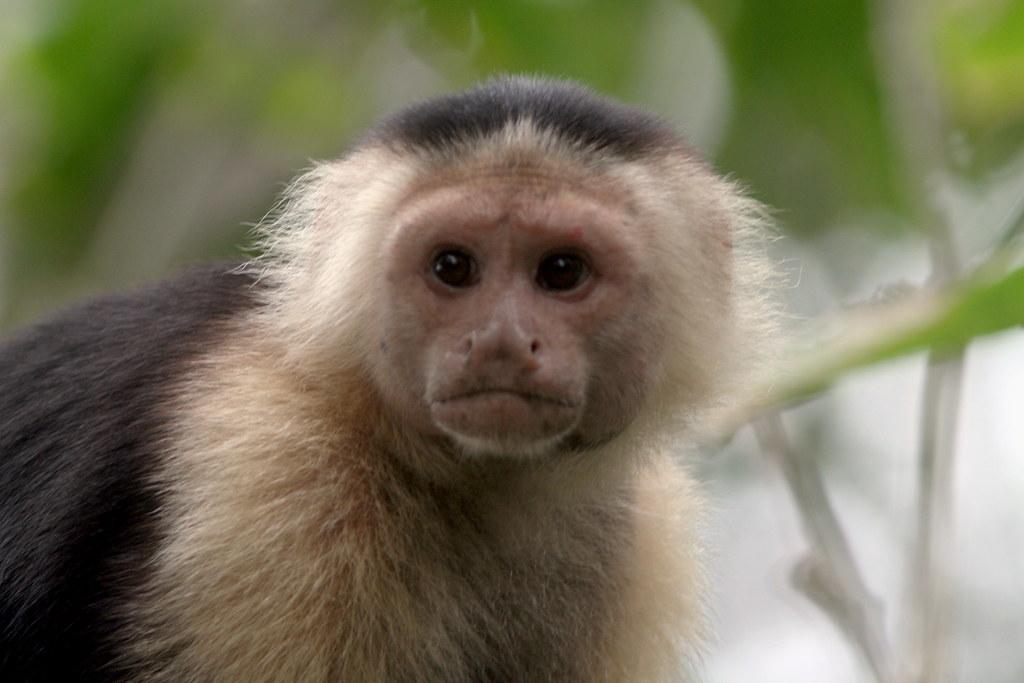 Capuchin Monkey Pictures Capuchin Monkey Flickr