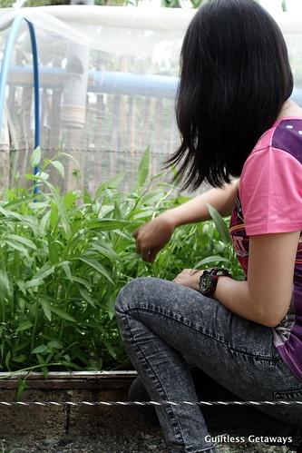 kangkong-planting.jpg