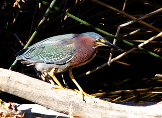 Rare Green Heron | by artbeco