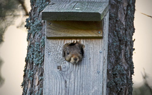 Squirrel in the birdhouse | by Jetuma