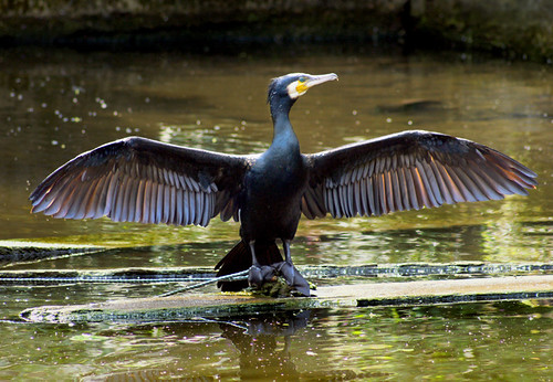cormorant | by The Painted Cat