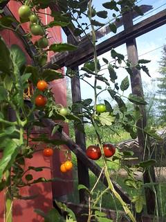 Tomato 'Sungold' & 'Kumato'