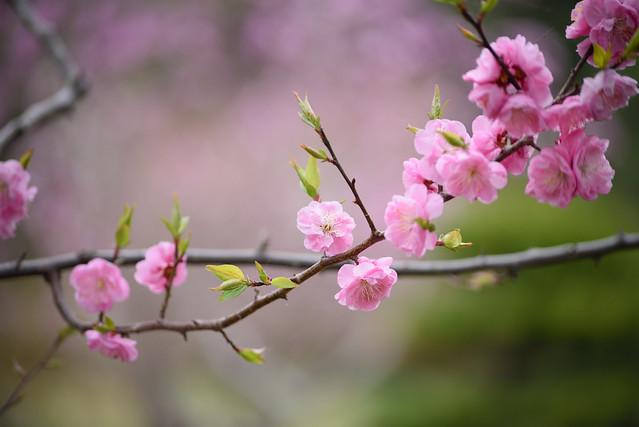 ume blossoms 6