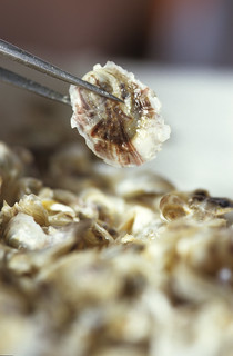 oyster spat | by Oregon State University