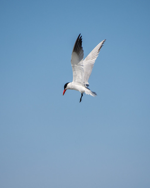tern about to dive
