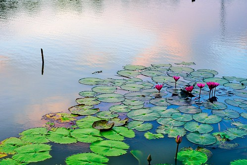 Waterlilies Love the Sunset Sky Too | by norsez