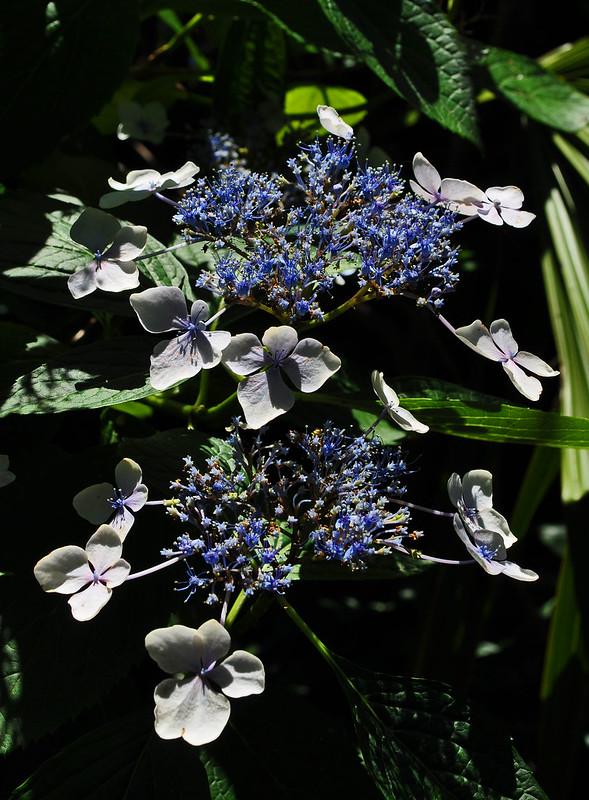 Hydrangea macrophylla 'Mariesii' (2)