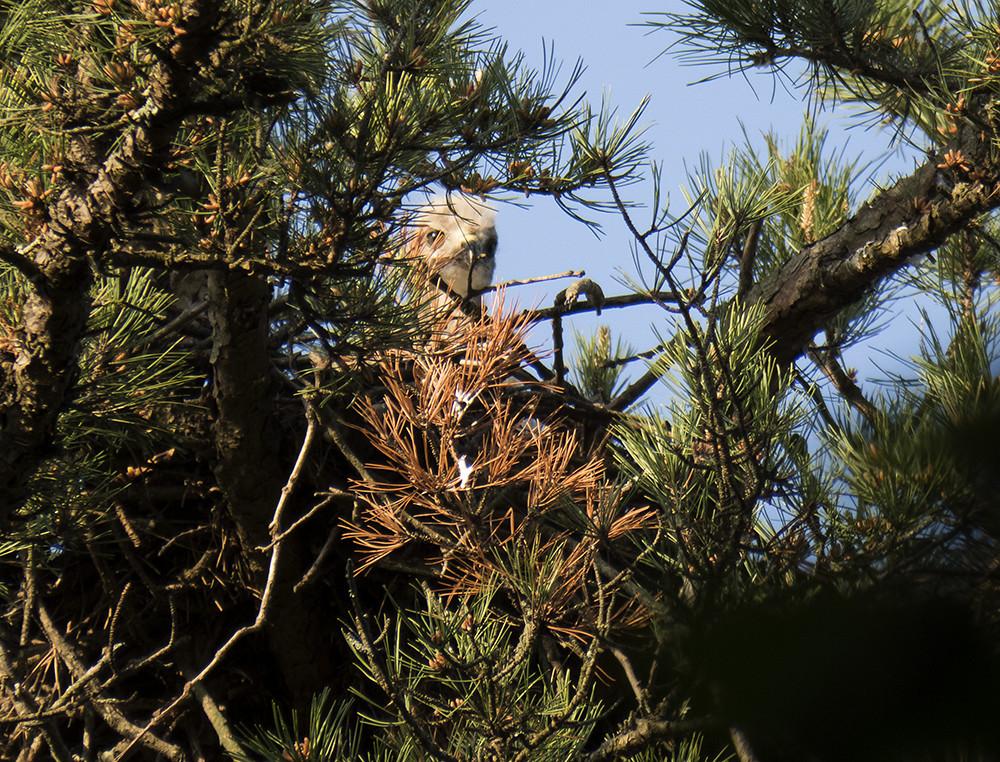wild hawk nest