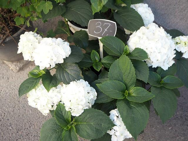 flowerswhitehortensiaP5275391, hydrangea, hortensia, kaunis kukkakimppu, beautiful flower bouquet, white, valkoinen, kukka, flowers, street scene, katu, katukuva, cheers up, piristää, summer, kesä,