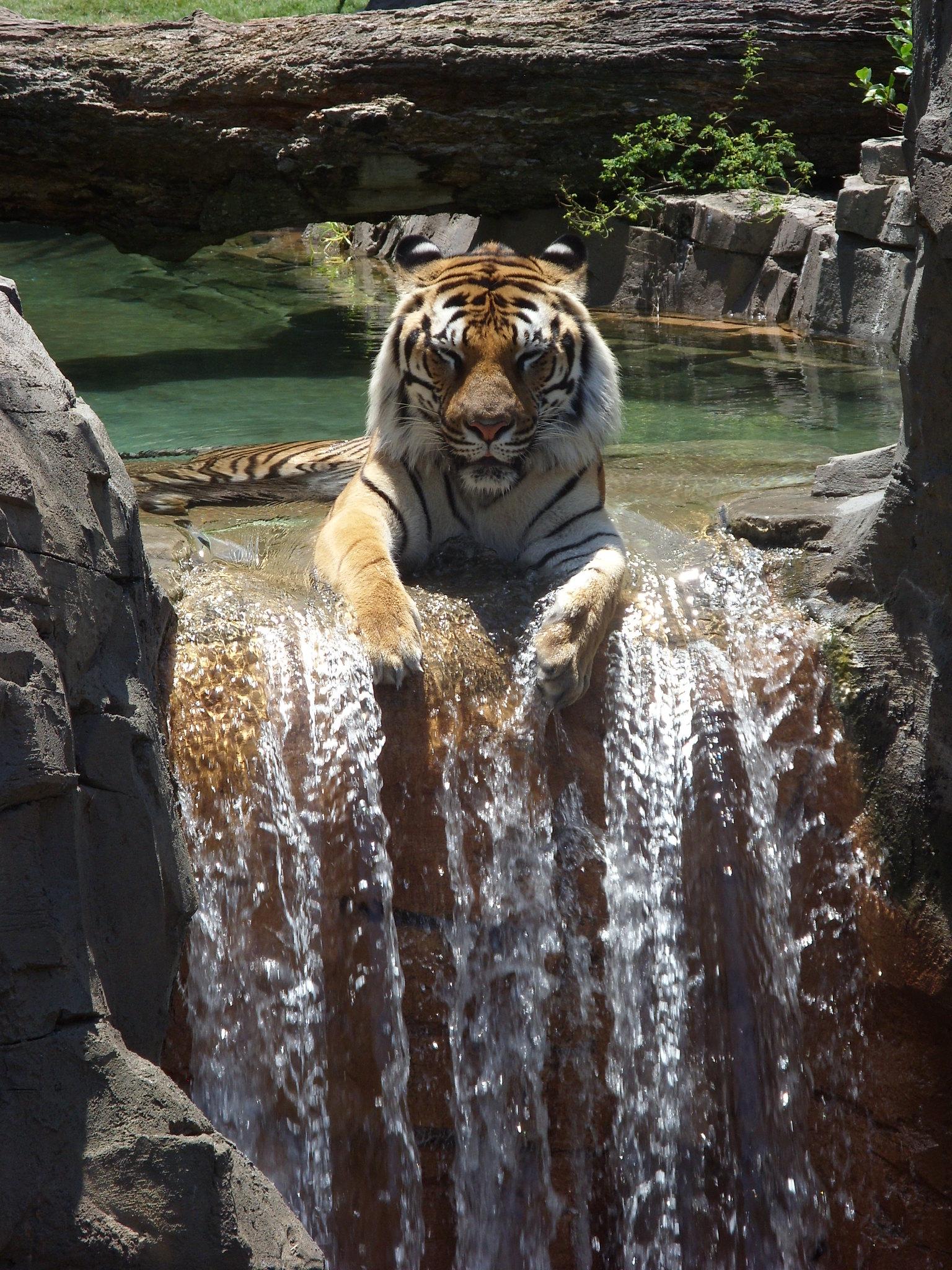 tiger enjoying a waterfall : pics