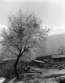 Peach blossom - Haba village