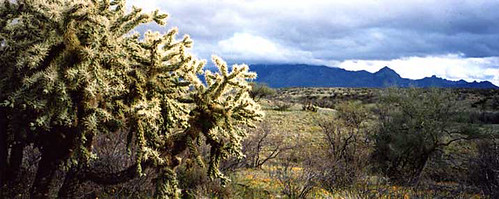 cholla cactus, Green Valley, Arizona