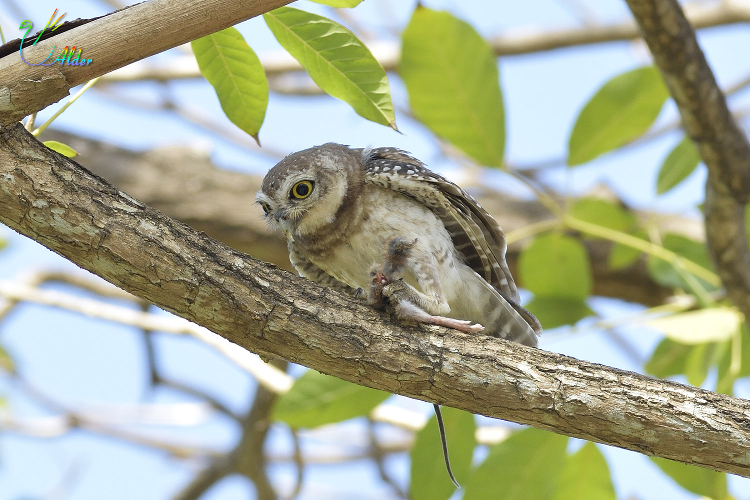 Spotted_Owlet_4602