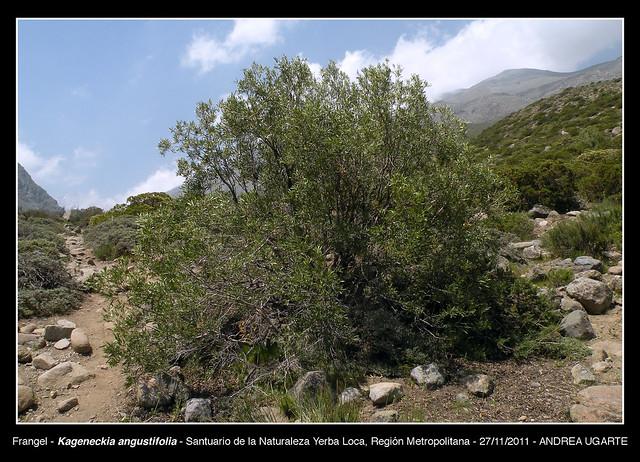 Kageneckia angustifolia hábito